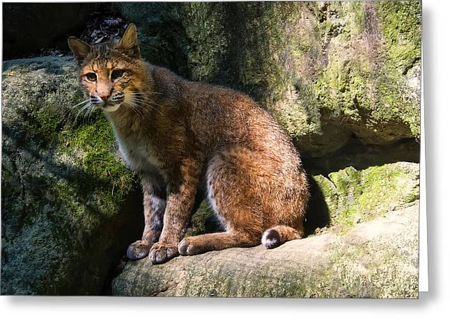 Lynx Rufus Greeting Cards - Bobcat resting on rocks Greeting Card by Chris Flees