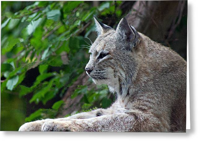 Love The Animal Greeting Cards - Bobcat Greeting Card by Rhonda Humphreys