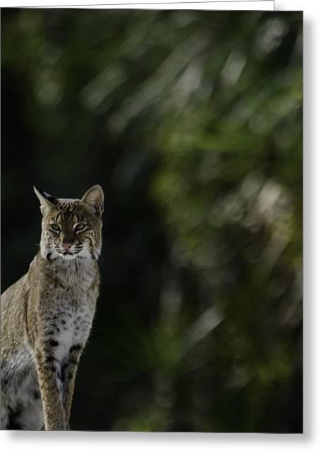 Bobcats Photographs Greeting Cards - BobCat Greeting Card by Robert Krausankas