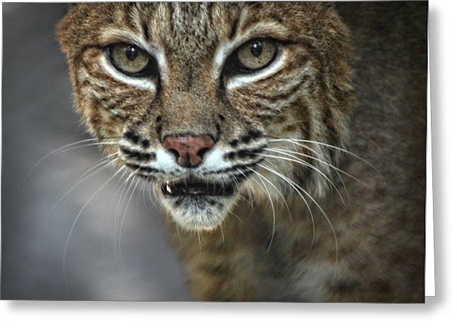 Bobcats Greeting Cards - Bobcat Stare Greeting Card by Maggy Marsh