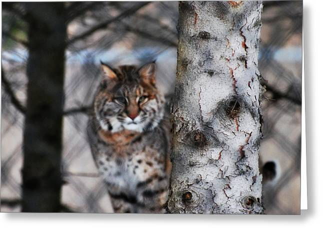 Bobcat Mixed Media Greeting Cards - Bobcat Greeting Card by StudioBoldt   Photography
