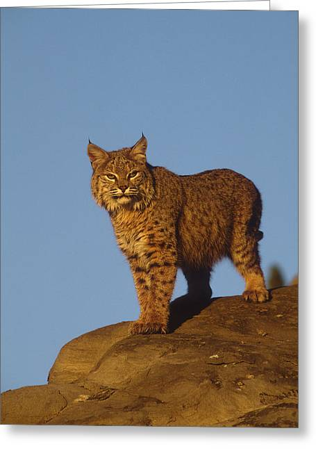 Lynx Sp Greeting Cards - Bobcat Greeting Card by Tom Vezo