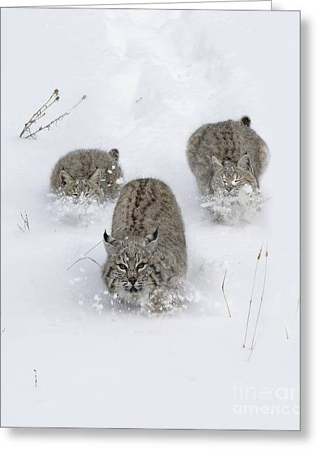 Bobcat Trio Greeting Card by Wildlife Fine Art