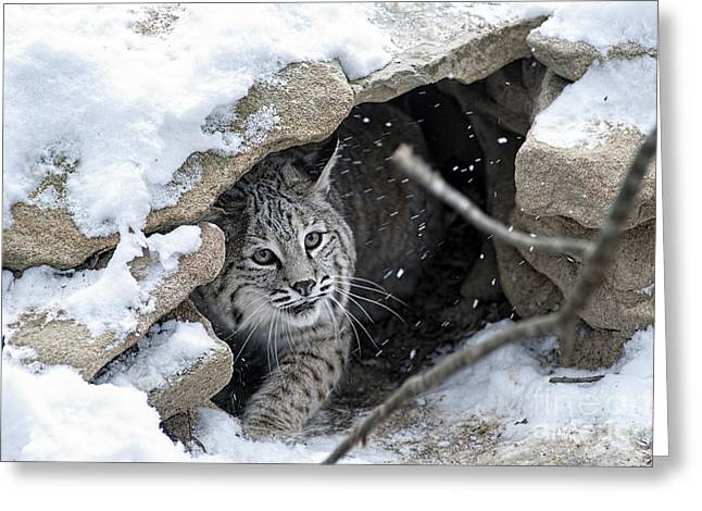 Bobcats Den Greeting Cards - Bobcat under rocks in the snow Greeting Card by Dan Friend