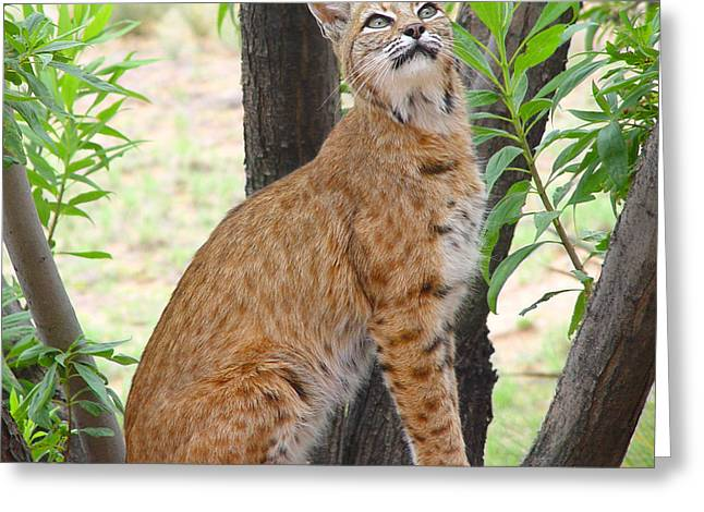 Bobcats Greeting Cards - Bobcat Greeting Card by Ursula Freer