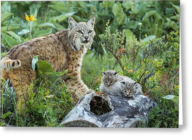 Bobcat Kitten Greeting Cards - Bobcat with kittens Greeting Card by Mike Robinson