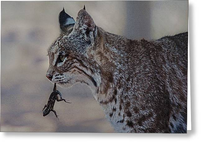 Lynx Rufus Greeting Cards - Bobcat with Lizard Greeting Card by Lee Kirchhevel