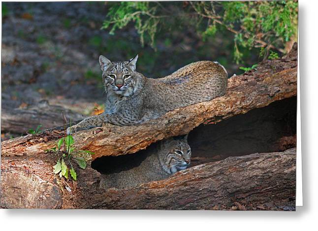 Bobcats at rest Greeting Card by Jean Clark
