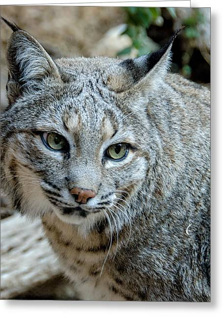 Bobcats Photographs Greeting Cards - Bobcats Gaze Greeting Card by Evelyn Harrison