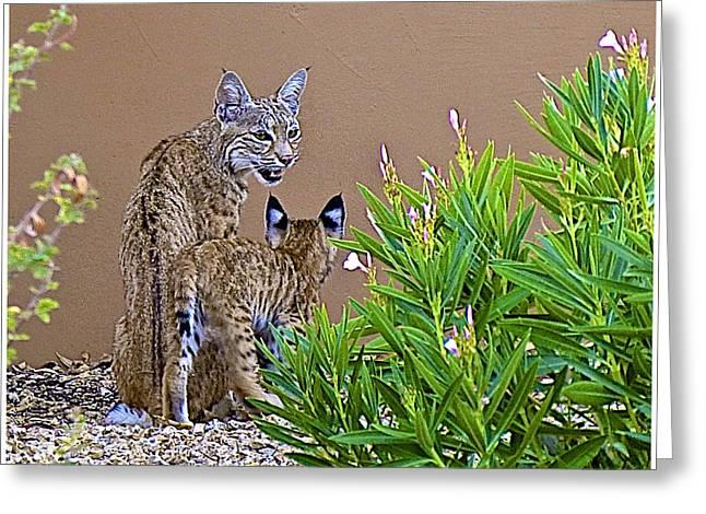 Bobcats Digital Art Greeting Cards - Bobcats in my backyard Greeting Card by Barbara Zahno