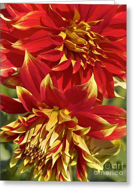 Dinner-plate Dahlia Greeting Cards - Bodacious Dahlia 2 Greeting Card by Sharon  Talson