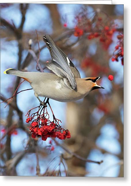 Bohemian Waxwing About To Catch Greeting Card by Doug Lindstrand