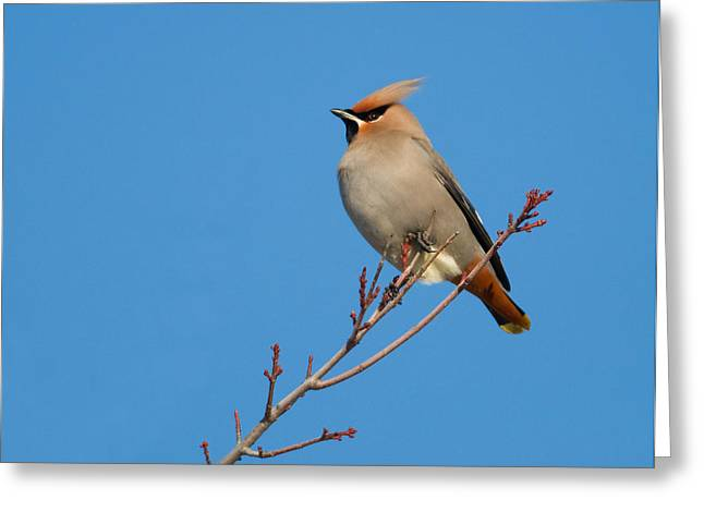 Winter Migrants Greeting Cards - Bohemian Waxwing Greeting Card by Gerald DeBoer