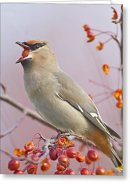 Winter Migrants Greeting Cards - Bohemian Waxwing Greeting Card by John Vose