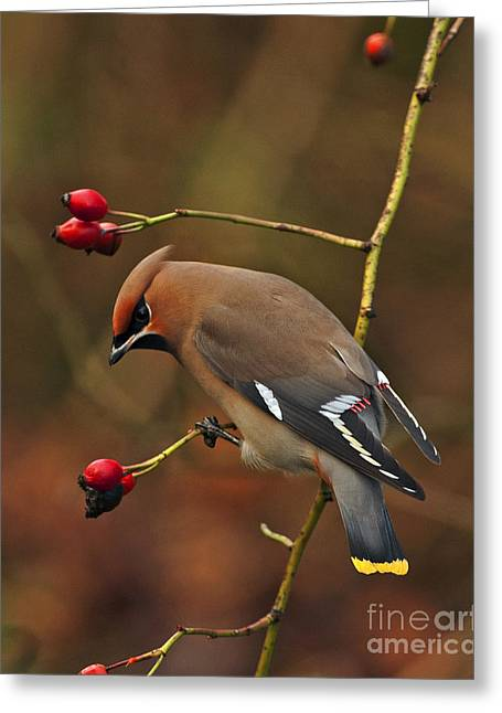 Scoullar Greeting Cards - Bohemian Waxwing Greeting Card by Paul Scoullar