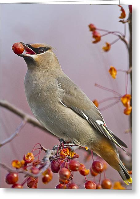 Winter Migrants Greeting Cards - Bohemian Waxwing with Fruit Greeting Card by John Vose
