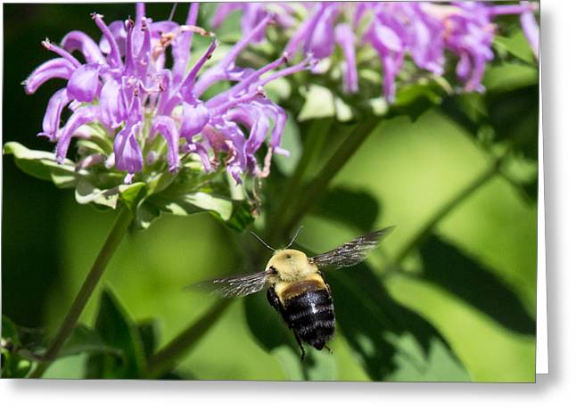 Bee In Flight Greeting Cards - Boise Bumble Bee Greeting Card by John Daly