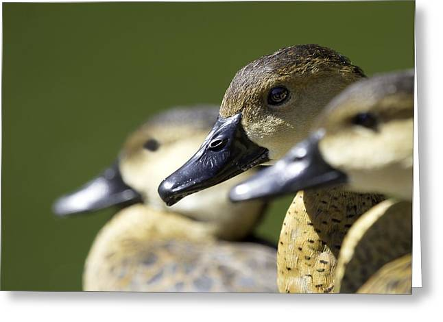 Port Kent Greeting Cards - Bokehlicious Ducks Greeting Card by Mr Bennett Kent