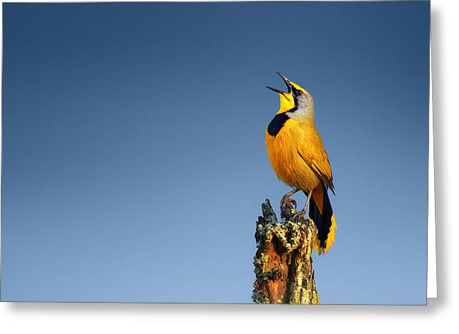 Yellow Beak Greeting Cards - Bokmakierie bird calling Greeting Card by Johan Swanepoel