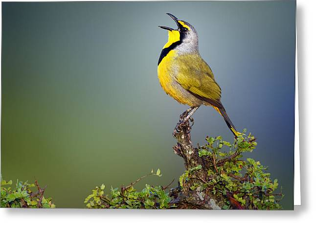 Sat Photographs Greeting Cards - Bokmakierie bird - Telophorus zeylonus Greeting Card by Johan Swanepoel