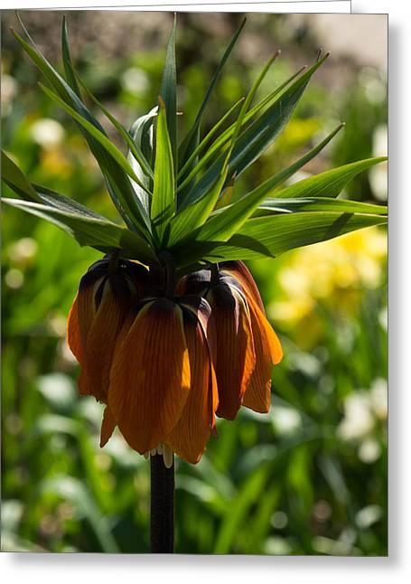 Pointy Petals Greeting Cards - Bold and Showy Orange Crown Imperial Flower  Greeting Card by Georgia Mizuleva