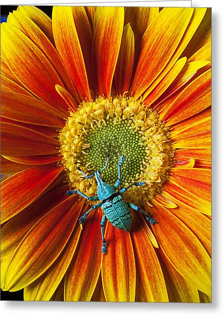 Boll Greeting Cards - Boll weevil on mum Greeting Card by Garry Gay
