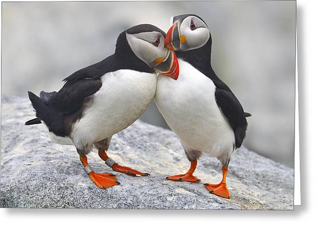 Puffins Greeting Cards - Bonded and Banded Greeting Card by Tony Beck