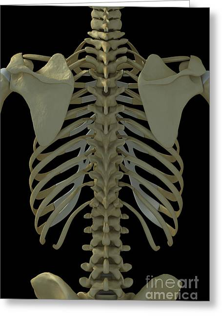Vertebra Greeting Cards - Bones Of The Back Greeting Card by Science Picture Co