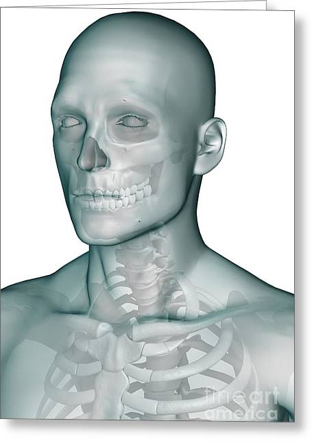 Frontal Bone Greeting Cards - Bones Of The Head And Upper Thorax Greeting Card by Science Picture Co