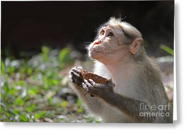 Begging Bowl Greeting Cards - Bonnet macaque Juvenile Greeting Card by Anuj Nair