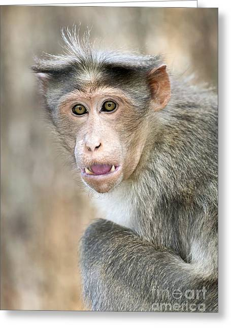 Verbal Greeting Cards - Bonnet Macaque Threat Display Greeting Card by Tony Camacho