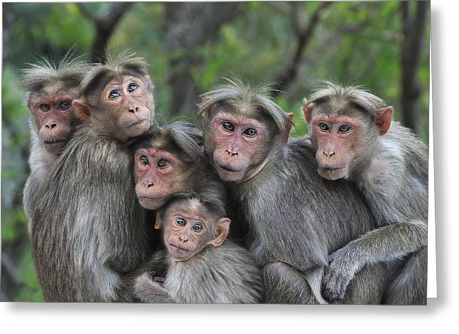 Bonnet Macaques Huddling Western Ghats Greeting Card by Thomas Marent