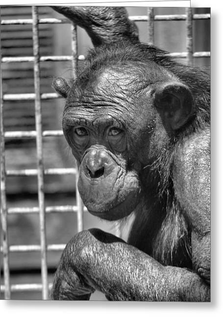 Chimpanzee Photographs Greeting Cards - Bonobo Black And White Greeting Card by Dan Sproul