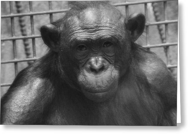 Chimpanzee Photographs Greeting Cards - Bonobo Greeting Card by Dan Sproul