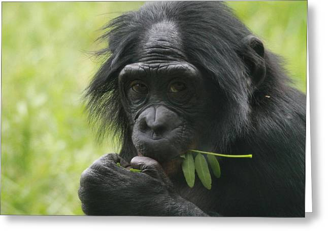 Chimpanzee Greeting Cards - Bonobo Eating Greeting Card by Dan Sproul