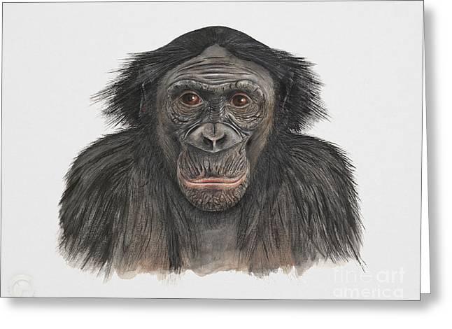 Orangutan Drawings Greeting Cards - Bonobo or Pygmy Chimpanzee - Pan paniscus - primates   Greeting Card by Urft Valley Art