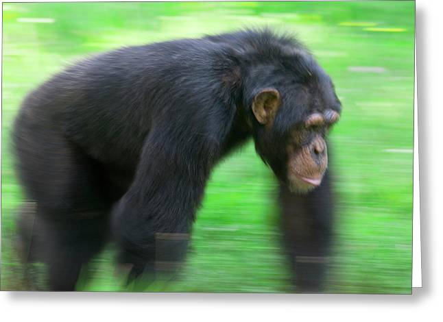 Vallee Greeting Cards - Bonobo Pan Paniscus Knuckle-walking Greeting Card by Cyril Ruoso