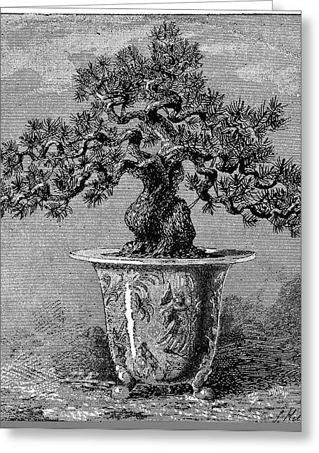 Popular Art Greeting Cards - Bonsai dwarf pine, 1889 Greeting Card by Science Photo Library