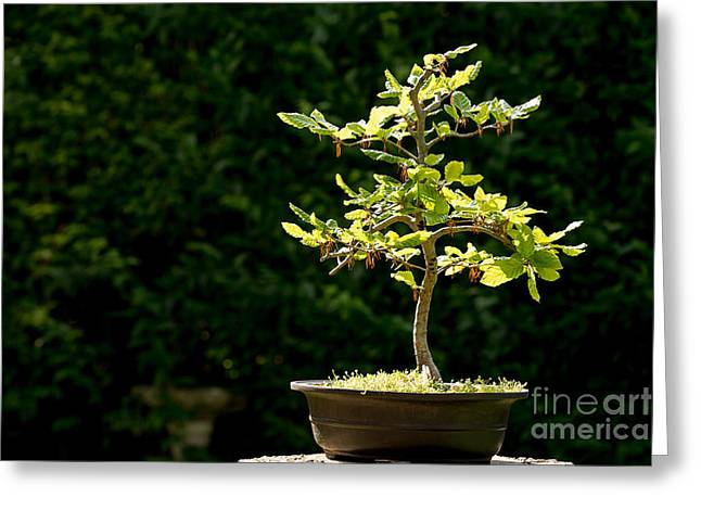 Bonsai Greeting Card by Jane Rix