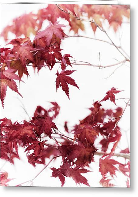Red Maple Tree Branches Greeting Cards - Bonsai Japanese Maple Greeting Card by Tim Gainey