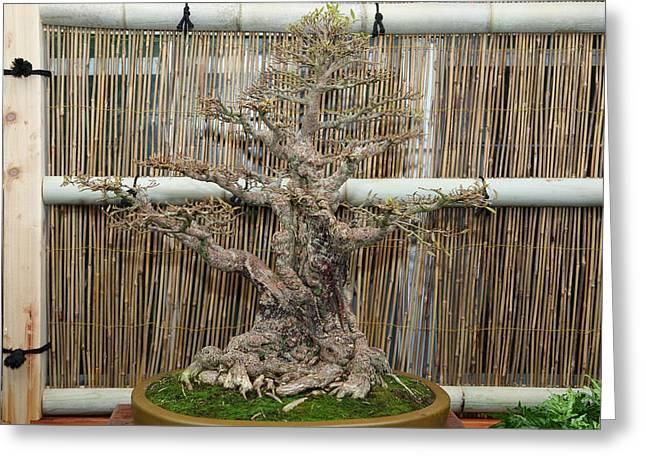Bonsai Treet - US Botanic Garden - 01136 Greeting Card by DC Photographer