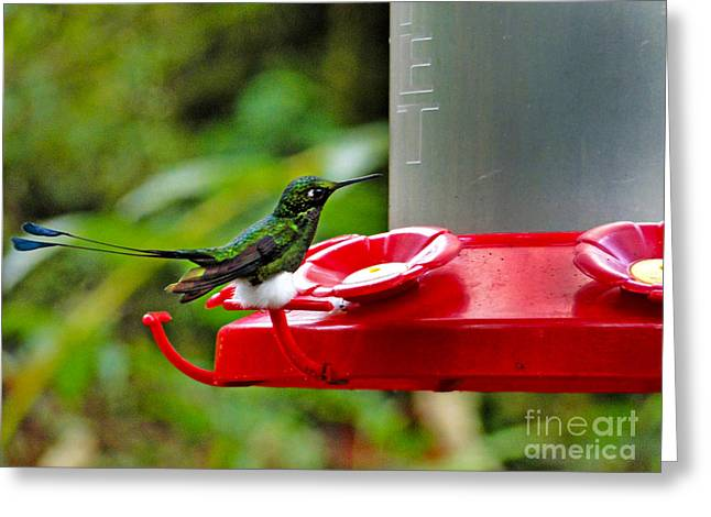 Racquet Greeting Cards - Booted Racket Tail Hummingbird In Mindo Greeting Card by Al Bourassa