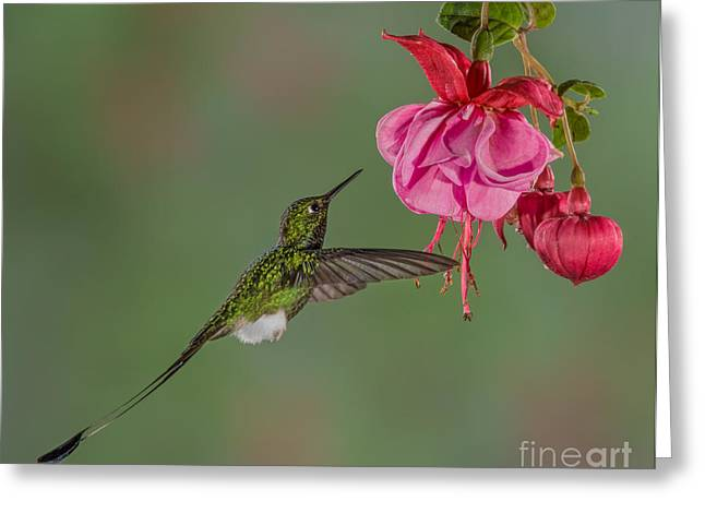 Racquet Digital Art Greeting Cards - Booted Rackettailed Hummingbird No 1 Greeting Card by Jerry Fornarotto