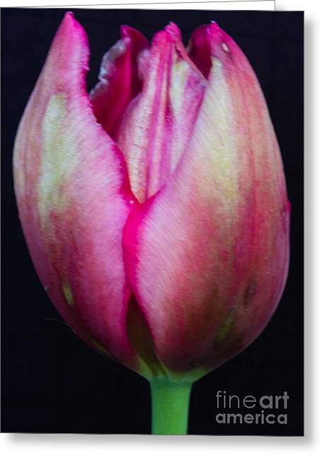 Wholesale Flowers Online Greeting Cards - Bopha Greeting Card by Courtney Trusty
