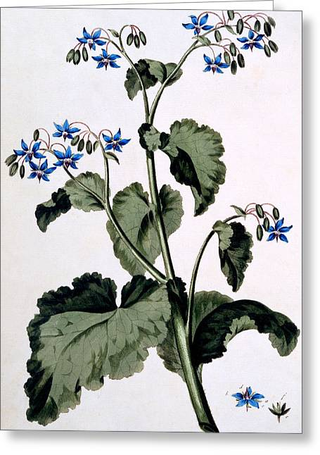 Still-life With Flowers Greeting Cards - Borage with Blue Flowers Greeting Card by John Edwards