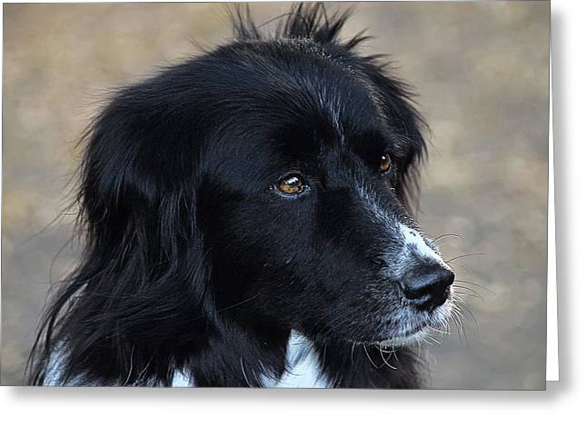 Collie Greeting Cards - Border Collie Greeting Card by Camille Lopez