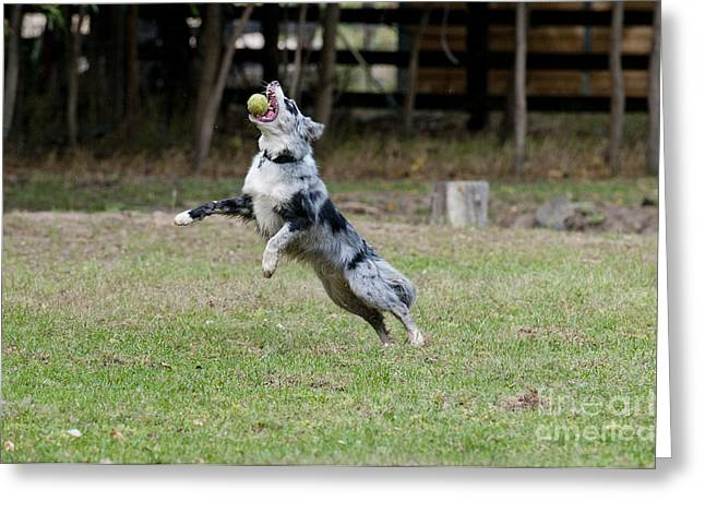 Dog With Tennis Ball Greeting Cards - Border Collie Catching A Ball Greeting Card by William H. Mullins