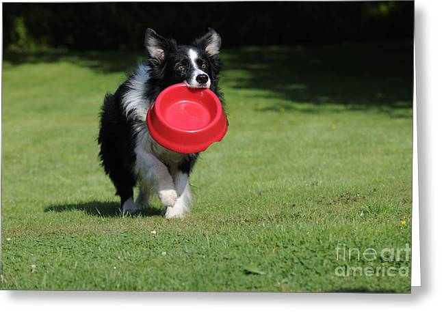 Begging Bowl Greeting Cards - Border Collie Dog Greeting Card by John Daniels
