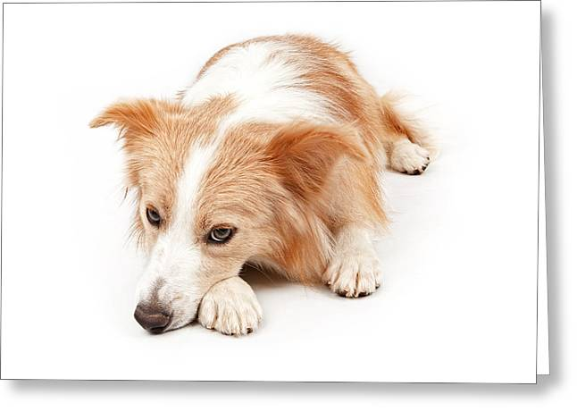 Border Greeting Cards - Border Collie Dog Laying Down  Greeting Card by Susan  Schmitz