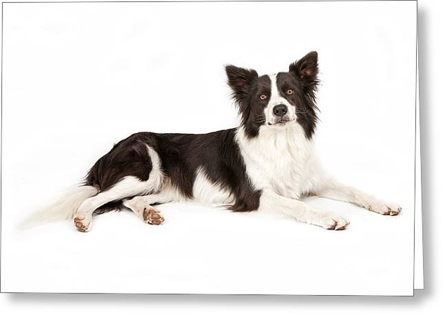 Border Greeting Cards - Border Collie Dog Looking Forward Greeting Card by Susan  Schmitz